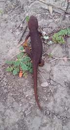 Tilden Newt of spring, photo by S. Robey